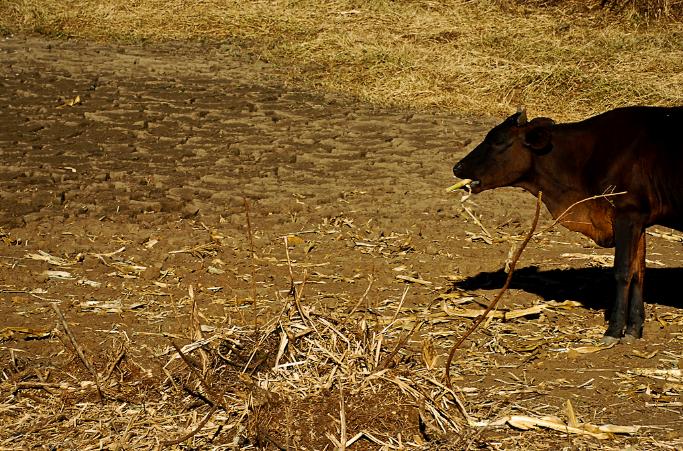 A perda da safra do estado foi, em média, de 68%. Isso significa que sertanejo pensou que colheria 100 grãos, mas colheu apenas 32 (FOTO: Daniel Marenco/Flickr Creative Commons)