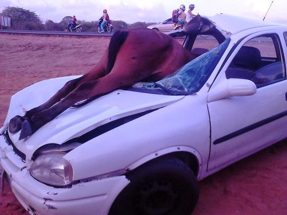 Acidente com animais em estradas