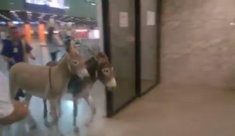 Jumentos que invadiram aeroporto de Fortaleza são capturados