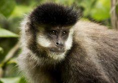 Estudo analisou 24 macacos das espécies prego e sagui em áreas de caatinga e de floresta cearenses. (FOTO: Flickr/ Creative Commons/ Alexandre Pedron)