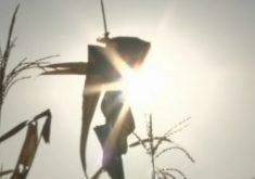 Plantas mais resistentes à seca são opções para os agricultores(FOTO: Reprodução TV Jangadeiro)