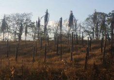Produção em Quixadá ficou bastante prejudicada com a morte de coqueiros (FOTO: Dante Góes)