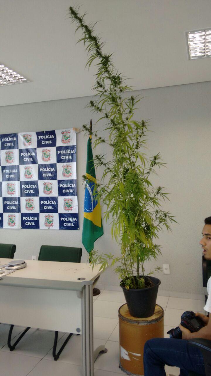 Inglês é preso por cultivar maconha em plantação de 20 m² no Cumbuco