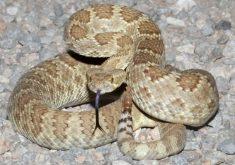 A cobra cascavel está sendo utilizada para o desenvolvimento do analgésico (FOTO: Divulgação)