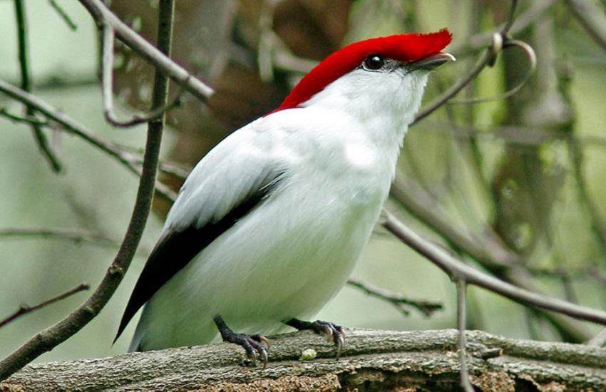 Ave do Cariri vira tema de selo dos Correios para chamar atenção ao risco de extinção