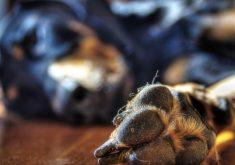 O cachorro fugiu de casa e atacou a menina (FOTO: Flickr/Creative Commons/Petra Bensted)