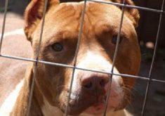 Cachorro da raça Pitbull em referência a duas crianças atacadas no distrito de Pecém