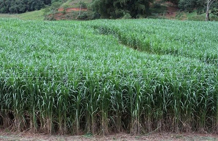 Planta é desenvolvida para garantir alimento a animais em épocas de estiagem