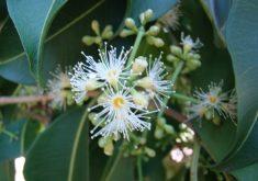 Planta é muito utilizada na culinária paraense (FOTO: Flickr/Creative Commons/Mauroguanandi)