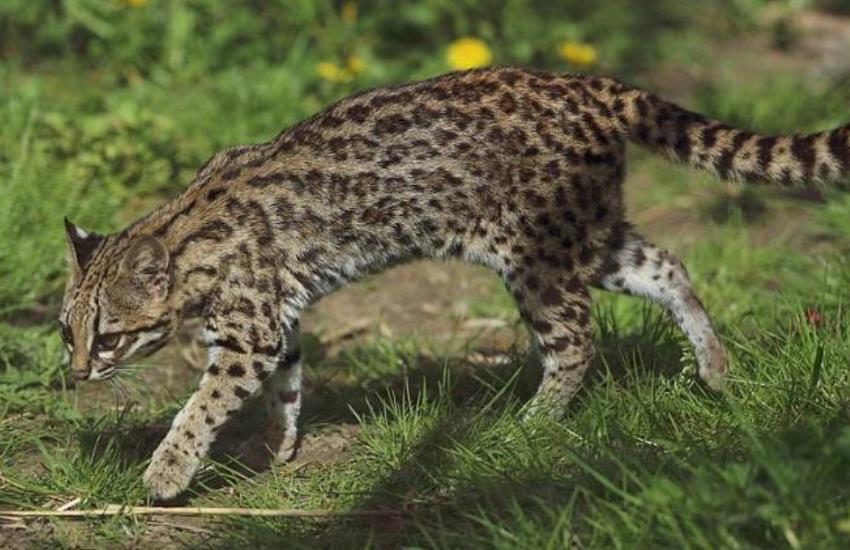 Gato-do-mato ameaçado de extinção é filmado pela 1ª vez em Fortaleza