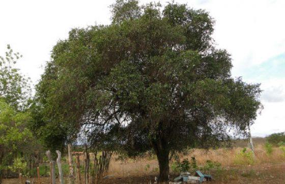 Árvore típica da Caatinga, a quixaba pode alcançar até 18 metros de altura (FOTO: Pedro Everson de Aquino)