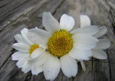 flor-gentileza