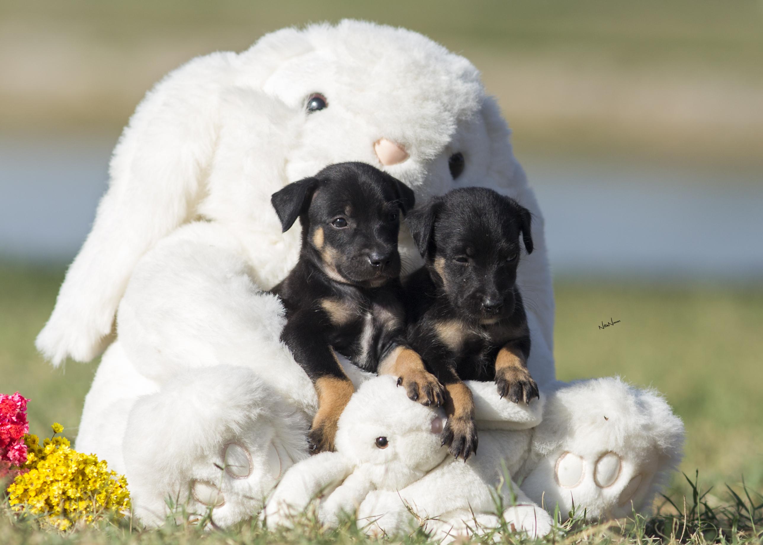 A fotografia de cinofilia é aquela onde cada detalhe dos cães é avaliado (FOTO: Nilton Novaes)