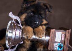 cachorro-pastor-alemao