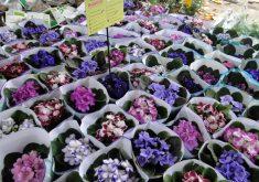 Festival das Flores de Holambra