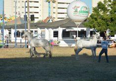 Cavalos em referência a 64ª edição da Expoece chega a Fortaleza com diversas atrações