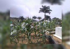 No cemitério São Miguel onde se planta paz e milho (FOTO: Reprodução TV Jangadeiro)