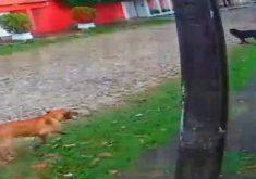 cães ataque