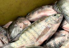 Baixo volume de água no açude Castanhão prejudica na criação de peixes (FOTO: Reprodução TV Jangadeiro)