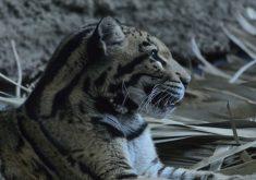 Leopardo nebuloso apareceu na Ásia (FOTO: Reprodução Nordestv)
