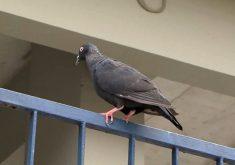 Pombos podem transmitir doenças perigosas (FOTO: Reprodução Nordestv)